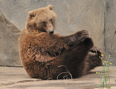 But WAIT! If you order now we will also include the Grizzly Bear workout DVD! (ucumari) Tags: november sc animal mammal south columbia carolina 2008 grizzlybear riverbankszoo ucumariphotography