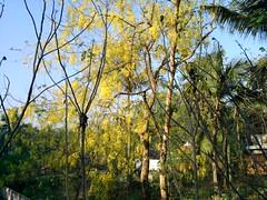 Konna (anishpsla) Tags: kerala wayanad vishu edakkal konna kanikonna