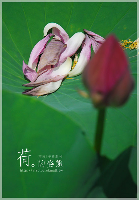 【2010賞荷】南投中興新村~荷花(蓮花)池準備盛放!22