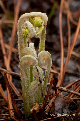 Interrupted Fern fiddleheads (Osmunda claytonia)-5.jpg