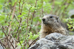Marmotte  Pralognan (franchab) Tags: wwwfranchabphotographefr