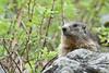 Marmotte à Pralognan (franchab) Tags: wwwfranchabphotographefr