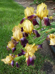 Wheaton, IL, Backyard Iris Blooms (Mary Warren (7.1+ Million Views)) Tags: flowers iris plant nature yellow purple blossoms blooms citrit