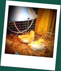 Chicken in window display week 2