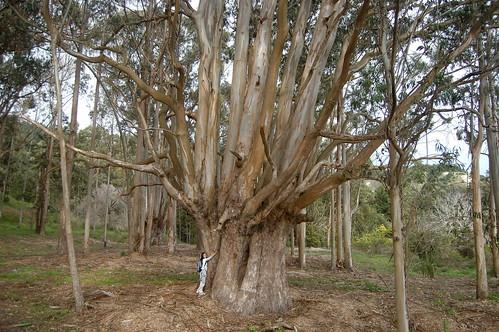 king tree