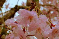 Cherry Blossoms at Chidorigafuchi in Tokyo (_takau99) Tags: trip travel pink flowers vacation holiday flower color macro cute beautiful topv111 japan cherry lumix tokyo march spring colorful blossom blossoms panasonic cherryblossom  sakura cherryblossoms   2008 chiyodaku kudanshita chidorigafuchi  fx30  takau99   dmcfx30 chidorigafuchiryokudou