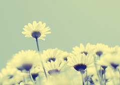 (digitalgopher) Tags: flowers flower yellow vintage flora nikon soft dof bokeh outtake 30mm firstquality sigmalens nikond40