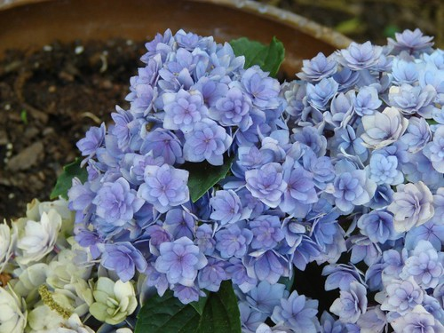 Hydrangea 'Together'