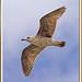 gavià argentat, jove - gaviota patiamarilla, joven 09a -  yellow-legged gull, young- larus cachinnans