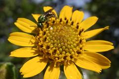 Inseto coleta o néctar de uma Flor de Yacon/ Yacon flower (v_braida) Tags: flower macro nature fly vespa natureza amarelo nectar closer yacon braida