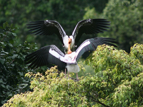 Upeh Sawah @  Painted Stork