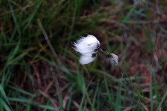 Bog cotton in the Poisoned Glen in Glenveagh National Park, county Donegal