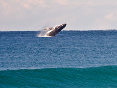Whales Surfers Paradise_4460 (Michael Dawes) Tags: camera beach animals country australia surfing clean queensland whales humpback towns humpbackwhale megapteranovaeangliae goldcoast breach smallwaves topshots ef100400mmf4556lisusm t36 offshorewind canoneos40d mytopshots wavetype surferswaters humpbackwhalesgoldcoast humpbackwhalessurfersparadise queenslandmostinteresting topsurfingshots topsurfingphoto bestsurfphotos greatsurfphotos leapingwhale