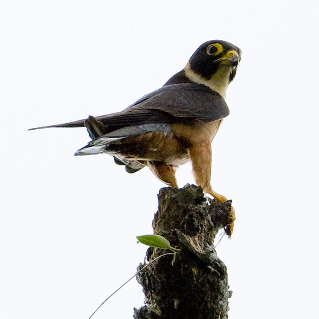 Oriental Hobby - Falco severus
