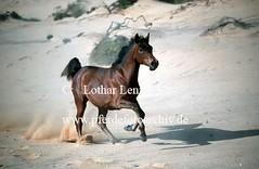 lzs7-1789 (Lothar Lenz) Tags: zirgs pferd paard lotharlenz konj horse hobu hestur hest hst equus cheval cavalo caballo portugal fohlen vollblutaraber