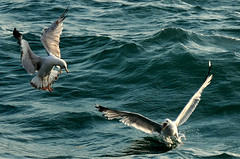 A quarrel over a piece of bread (Serhan Keser) Tags: seagulls turkey trkiye istanbul d300 mart laruscachinnans nikond300