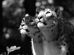 Soft leopard porn