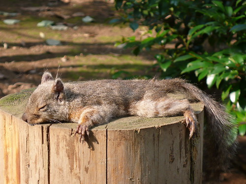 Japanese Squirrel in the heatwave