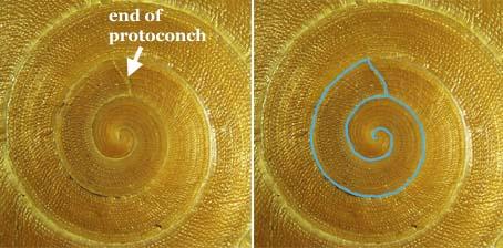 protoconch1