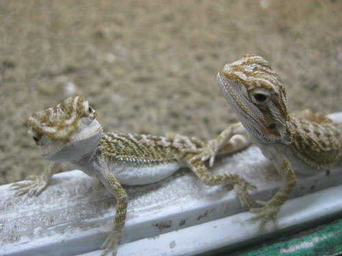 Baby Bearded Dragons by brenbot, on Flickr
