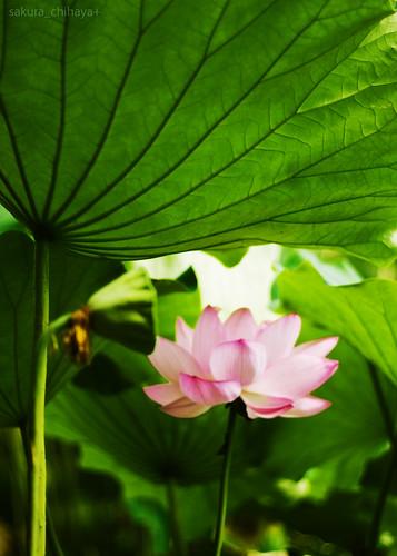 2436 : Lotus2008 #13