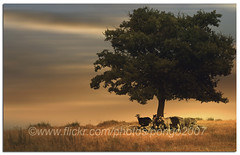 Living in the past (pongo 2007) Tags: italy tree europe sheep goats shade heat umbria pongo2007