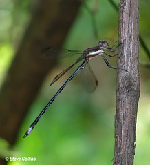 Great Spreadwing (Archilestes grandis) (Odephoto) Tags: md damselfly spreadwing odonata zygoptera montgomerycounty lestes archilestesgrandis archilestes greatspreadwing