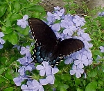 Black swallowtail on plumbago