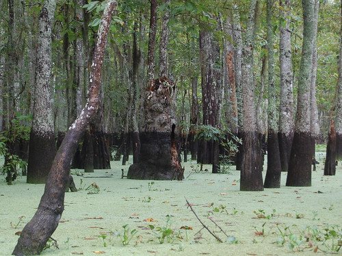 Honey Island swamp in Louisiana, by Flickr user Shubert Ciencia, released under a Creative Commons license