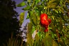 The Giant Red Pepper (Pat Kilkenny) Tags: red green night canon garden pepper august ambient mygarden redpepper fefifofum canon40d araquem
