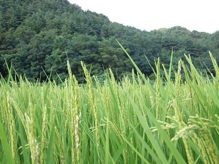 稲穂と笹川流れの山々