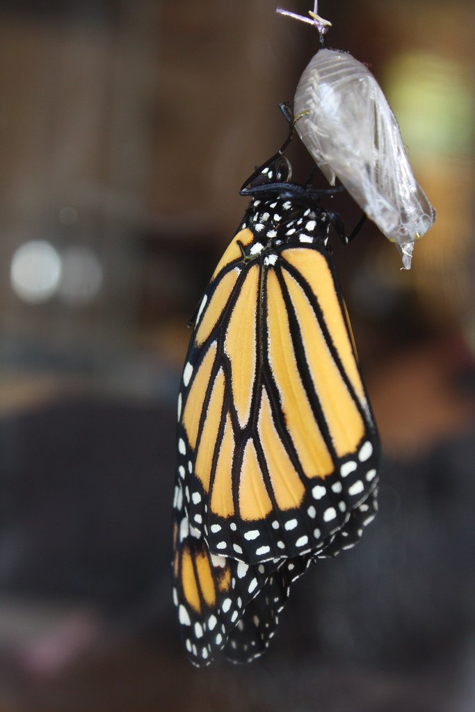 Hatching Monarch 10:49:10 am
