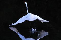 Great Egret for Theresa (NaturalLight) Tags: park reflection creek inflight great kansas wichita takeoff egret chisholm mywinners chisholmcreekpark vosplusbellesphotos