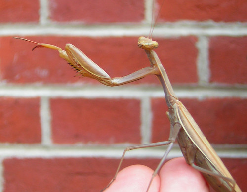 """Go down to the traffic light and make a left..."" (Praying mantis, Mantis religiosa)"