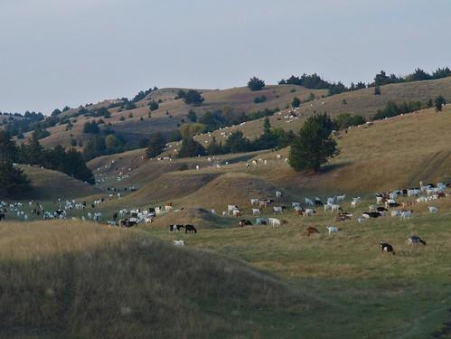Goats in Nebraskas Sandhills