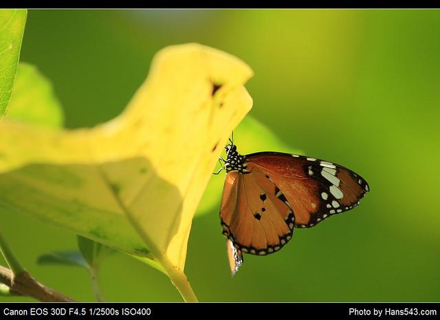 蝴蝶_Butterfly_04