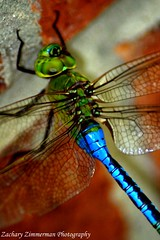 Iridescence (Zachary Zimmerman) Tags: beautiful garden freedom fly dragonfly change species iridescent transparent dreamlike creature visitor symbolism adaptive odonata mysticism