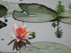 Lily Reflection (biancapreusker) Tags: pink france flower reflection water leaf lily giverny naturesfinest bigmomma canonpowershots2 anawesomeshot colorphotoaward photofaceoffplatinum pfogold rubyphotographer thechallengefactory damniwishidtakenthat