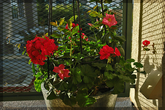 Pelargonium and Mandevilla