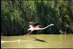 Flamingoe009 (Sophie Teunissen) Tags: pink france bird water flying flamingo running frankrijk rennen riet vogel roze camargue vliegen flamingoe