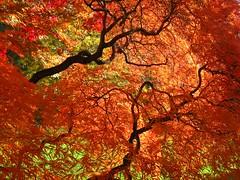 [フリー画像] [自然風景] [樹木の風景] [紅葉]        [フリー素材]