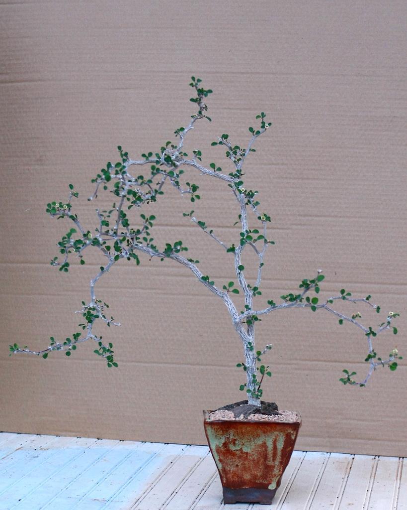 Euphorbia misera
