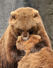 BIG Bear hug! (ucumari) Tags: november sc animal mammal nikon bravo south columbia carolina 2008 brownbear bearhug grizzlybear riverbankszoo ucumariphotography anawesomeshot ursushorrilibus goldwildlife damniwishidtakenthat vosplusbellesphotos