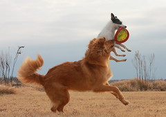 Interception! (Emery_Way) Tags: dogs jump jrt lily action run retriever frisbee trixie blueribbonwinner abigfave jachrussellterrier