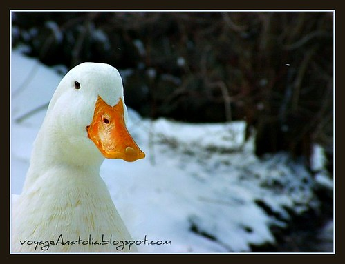 Duck in Snow Pond at Bolu Mountains by voyageAnatolia
