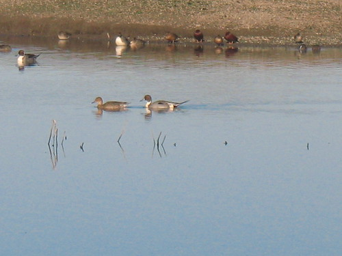 Pintail duck pair