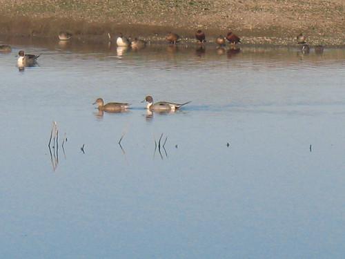 Pintail duck pair