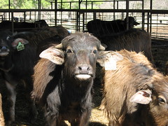 Weaners (WaterBuffalo) Tags: waterbuffalo buffalosteak rainforestanimals animalsmating waterbuffalopicture waterbuffaloforsale