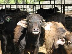 Weaners (WaterBuffalo) Tags: waterbuffalo buffalosteak rainforestanimals animalsmating waterbuffalopicture waterbuffaloforsale