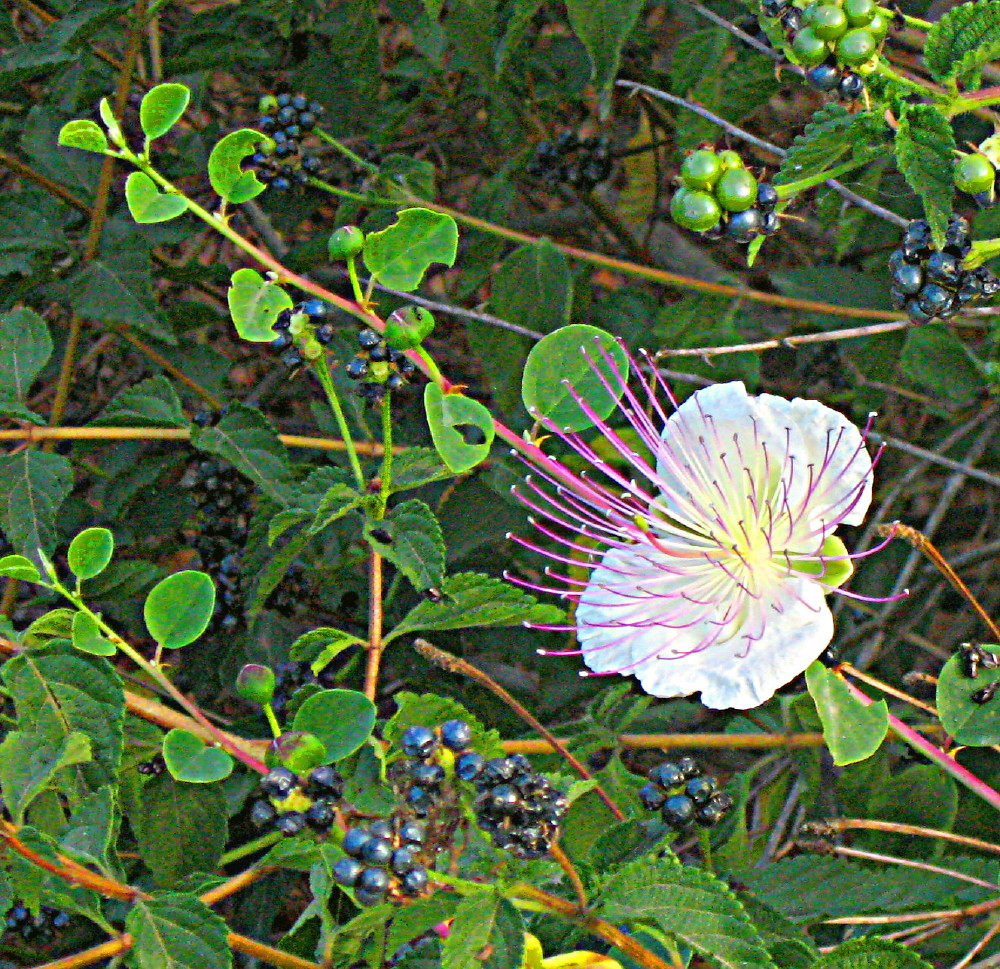 04-06-2011-capparis-spinosa2